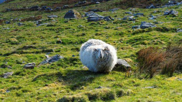 niezwykła historia o owcy